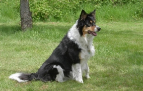 Chloe - Border Collie