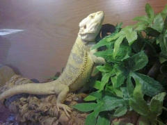 Hank - Inland Bearded Dragon